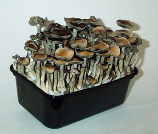 Magic Mushroom Grow Kit, grow shrooms at home.